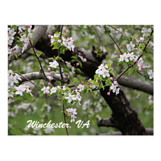 09 Apple Blossoms Winchester VA Postcard