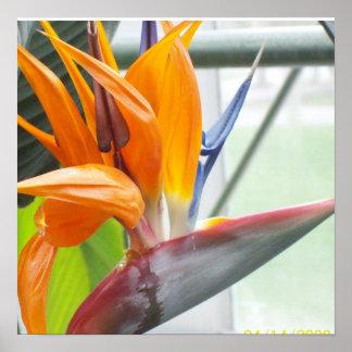100_0344BIRD OF PARADISE POSTER