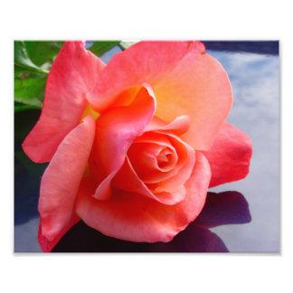 "10"" color de rosa x 8"", papel de la foto (satén) fotografías"
