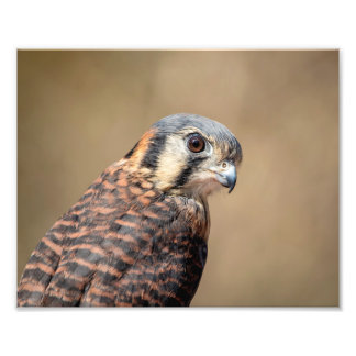 10x8 American Kestrel Photo Print