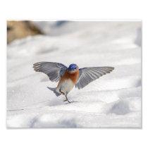 10x8 Eastern Bluebird dancing in the snow Photo Print
