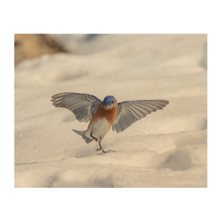 10x8 Eastern Bluebird dancing in the snow Wood Print