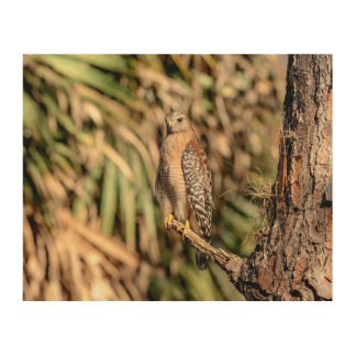 10x8 Red Shouldered Hawk in a tree Wood Print