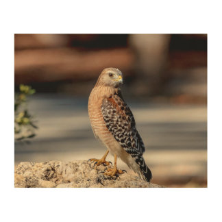 10x Red Shouldered Hawk on a rock Wood Wall Art
