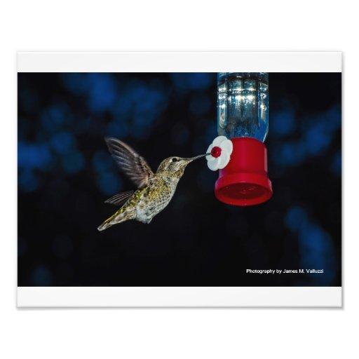 11 x 14 Calliope Hummingbird at feeder Photograph