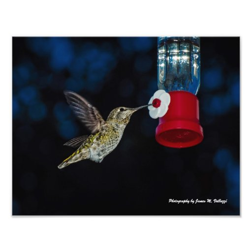 11 x 14 Calliope Hummingbird at feeder Photographic Print