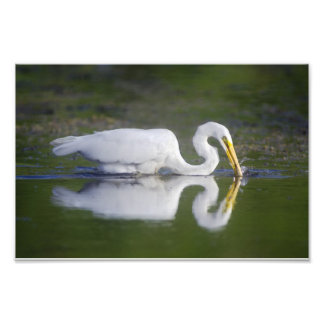 11 x 14 Great Egret Catching Fish Photograph