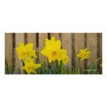 11 x 26 narcisos de la primavera impresiones fotográficas
