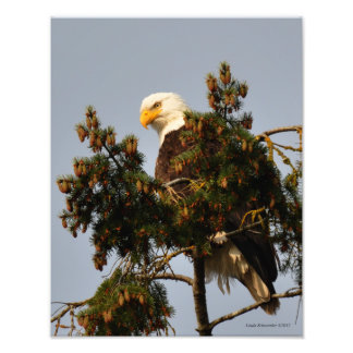 11X14 Bald Eagle Resting Up High Photograph