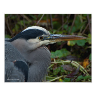 11X14 Great Blue Heron Magnificent Photograph