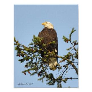 11X14 Noble Bald Eagle Photo Art