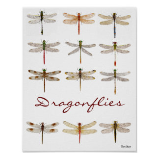 12 Dragonfly Species Poster