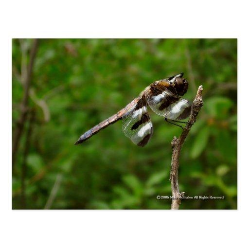 12 Spot Skimmer Postcards