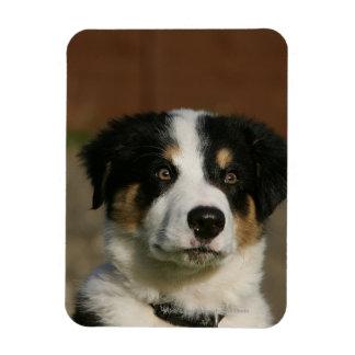 12 Week Old Border Collie Puppy Headshot Magnet