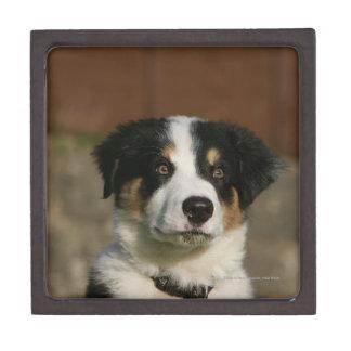12 Week Old Border Collie Puppy Headshot Premium Keepsake Box