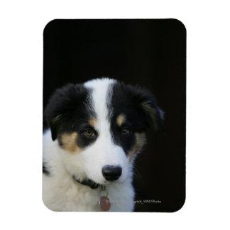 12 Week Old Border Collie Puppy Magnet
