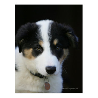 12 Week Old Border Collie Puppy Post Card