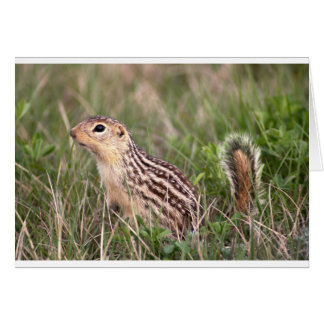 13 stripe ground squirrel card