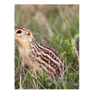 13 stripe ground squirrel postcard