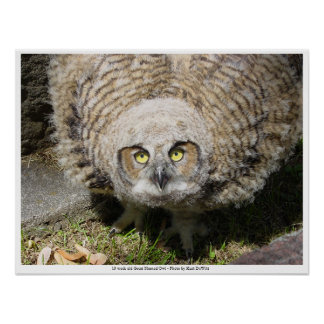 13 week old Great Horned Owl Poster