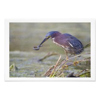 13 x 19 Green Heron Catching Three-toed Amphiuma Art Photo