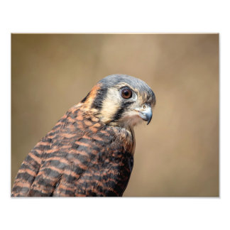 14x11 American Kestrel Photo Print