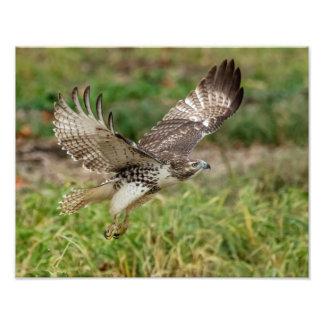 14x11 Immature Red Tailed Hawk Photo Print