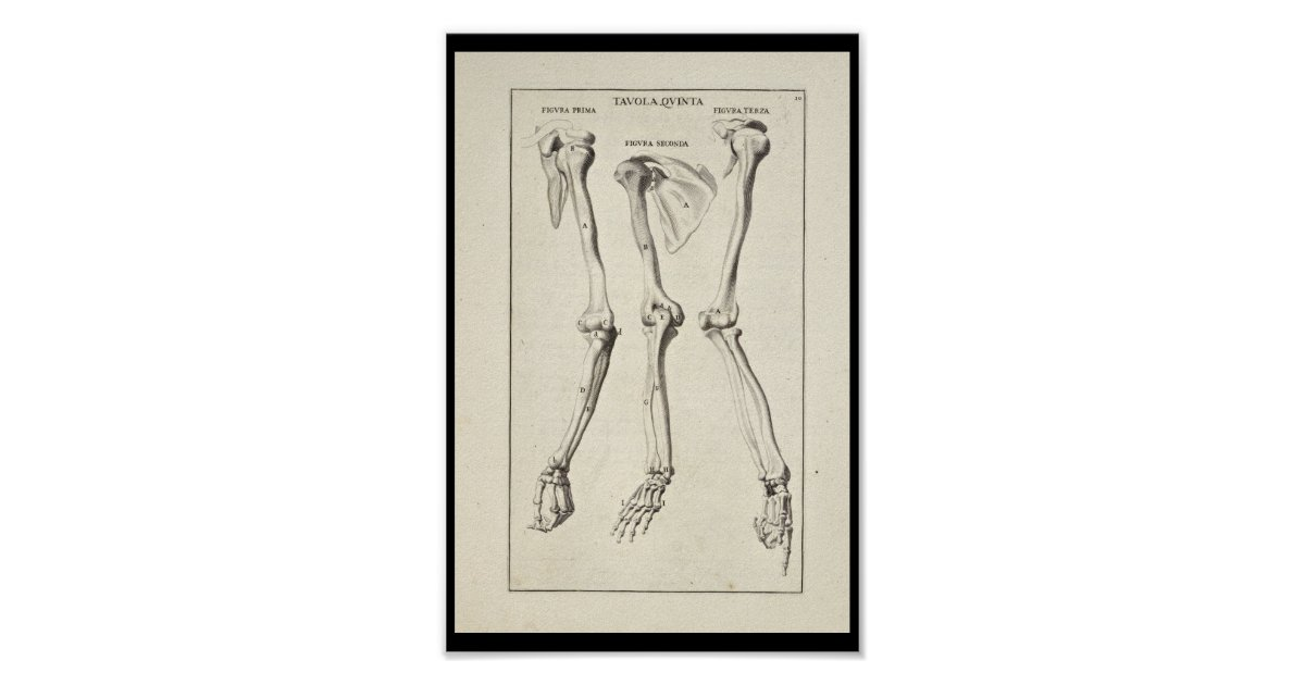 1691 Artistic Anatomy Arm Bones Art Print Zazzle