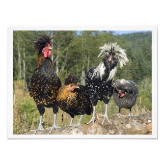 16 pollos polacos X12 cuatro Impresiones Fotográficas