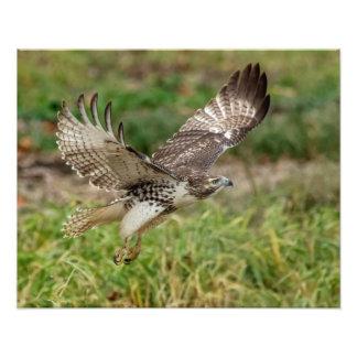 16x20 Immature Red Tailed Hawk Photo Print