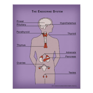 16x20 Poster of the Endocrine System