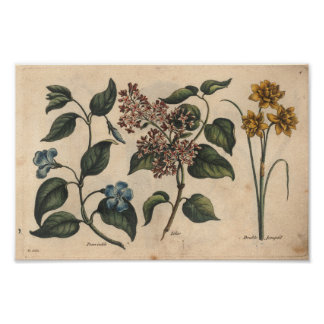 1757 Botanical Flower Art Print Periwinkle