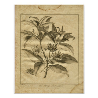 1817 Anniseed Culpeper Herbal Print