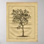 1817 Forbidden Fruit Culpeper Herbal Print