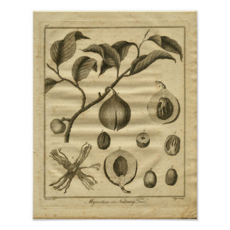 1817 Nutmeg Tree Culpeper Herbal Print