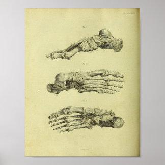 1824 Human Foot Bones Anatomy Print