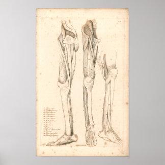 1833 Muscles of Leg Vintage Anatomy Print