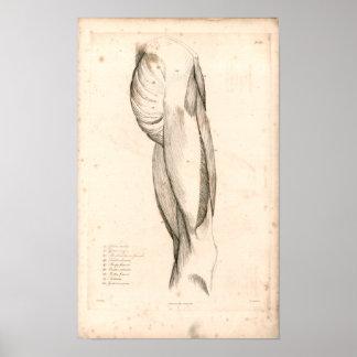 1833 músculos de impresión de la anatomía del póster