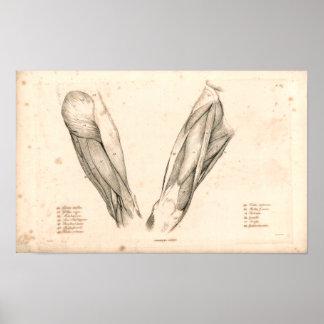 1833 músculos de impresión de la anatomía del vint póster
