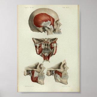 1844 Vintage Anatomy Print Muscles Jaw