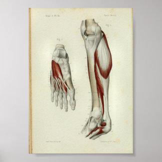 1844 Vintage Anatomy Print Muscles Leg