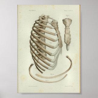1844 Vintage Anatomy Print Rib Cage