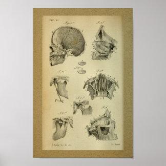 1850 Vintage Anatomy Print Jaw Skull