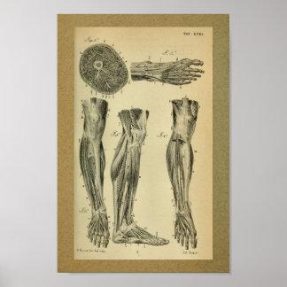 1850 Vintage Anatomy Print Leg Muscles