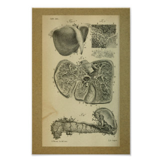 1850 Vintage Anatomy Print Liver Pancreas