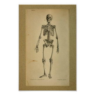 1850 Vintage Anatomy Print Skeleton