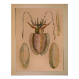 1851 Vintage Color Common Cuttlefish Print