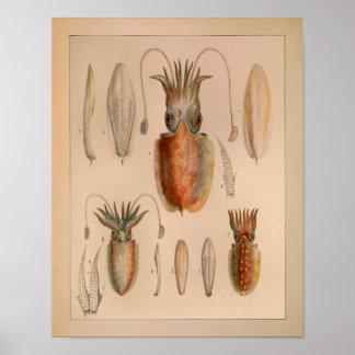 1851 Vintage Color Cuttlefish Print