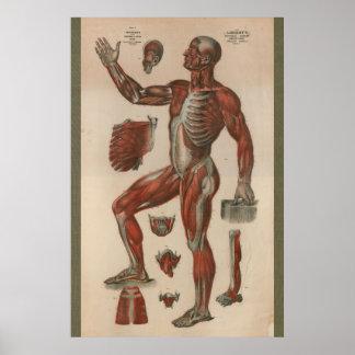 1851 Vintage Muscle Anatomy Chart