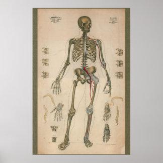 1851 Vintage Skeletal Anatomy Chart Poster